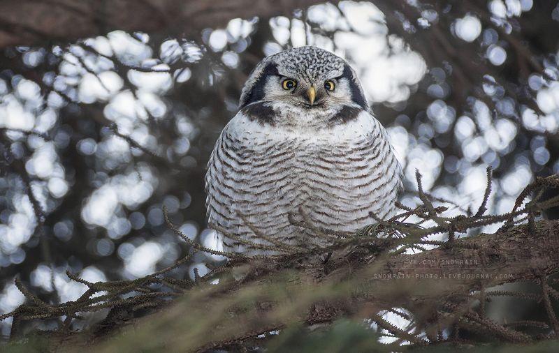 owl, wildlife, wildlife photography, анималистика, сова, фотоохота, birds, nature, птицы Ястребиная соваphoto preview