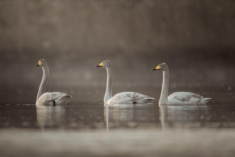 Cygnus cygnus, bird, wildlife,whooper swan Bird vuvuzelasphoto preview
