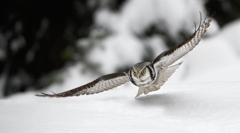 ястребиная сова низколетающий охотникphoto preview