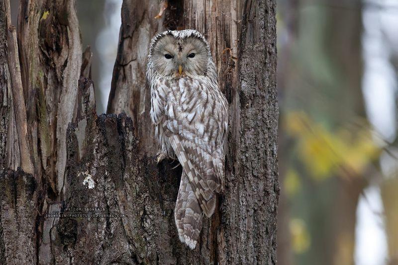 owl, wildlife, wildlife photography, анималистика, сова, фотоохота, birds, nature, птицы Длиннохвостая неясытьphoto preview