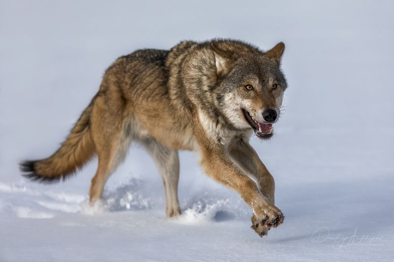 Серый волкphoto preview