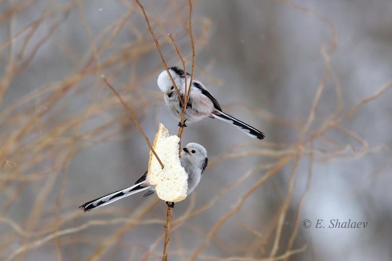 aegithalos caudatus,birds,long-tailed tit,длиннохвостая синица,ополовник,птица,птицы.синица,фотоохота Инь-Яньphoto preview