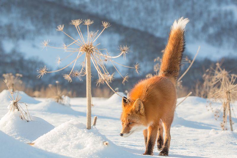 Камчатка, лиса, зима, природа, путешествие, животные,  Хитрый взглядphoto preview