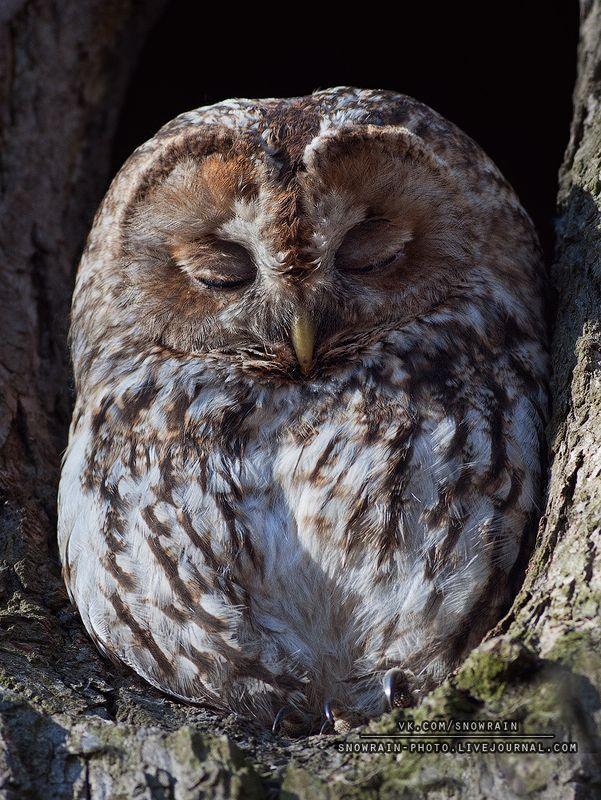 owl, wildlife, wildlife photography, анималистика, сова, фотоохота, birds, nature, птицы Серая неясытьphoto preview