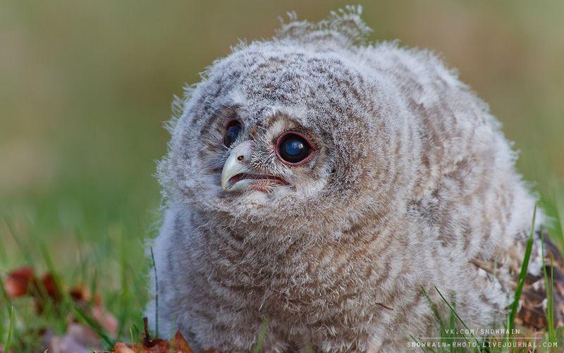 owl, wildlife, wildlife photography, анималистика, сова, фотоохота, birds, nature, птицы Птенец серой неясытиphoto preview