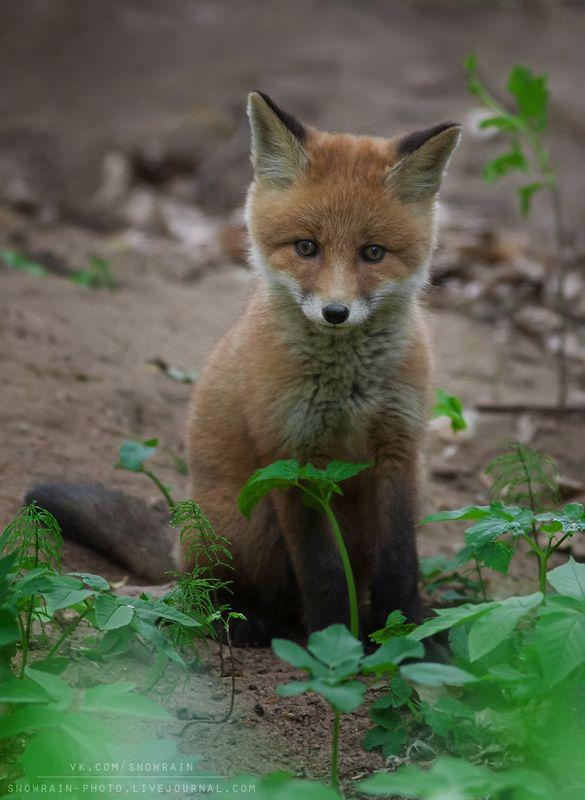 лиса, фотоохота, анималистика, дикая природа, природа, лес, животные, nature, wildlife, fox, animal, wildlifephoto Лисенокphoto preview