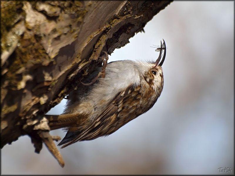 certhia familiaris, апрель, битца, битцевский лесопарк, весна, москва, обыкновенная пищуха, пищуха, природа, птицы, птицы россии Пищуха с уловомphoto preview
