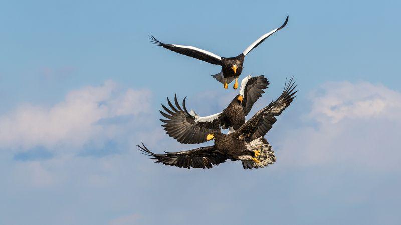 орлы, белокрылый орел Небесные пробкиphoto preview