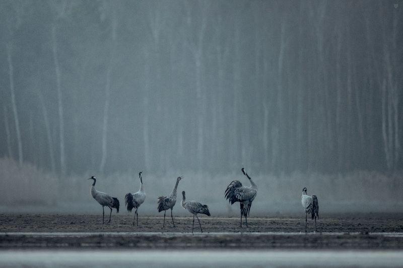 cranes, sleeping place, wildlife, birds, Cranes sleeping placephoto preview
