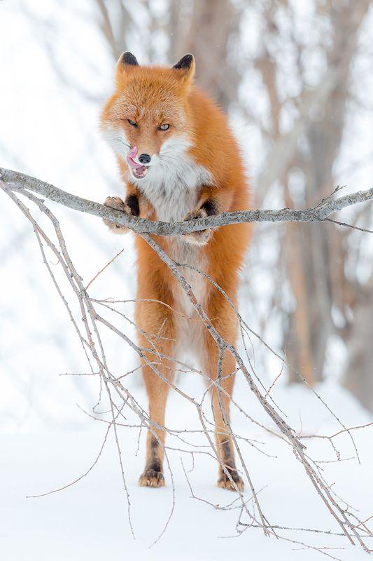 Камчатка, лиса, зима, природа, путешествие, животные,  Сама хитростьphoto preview