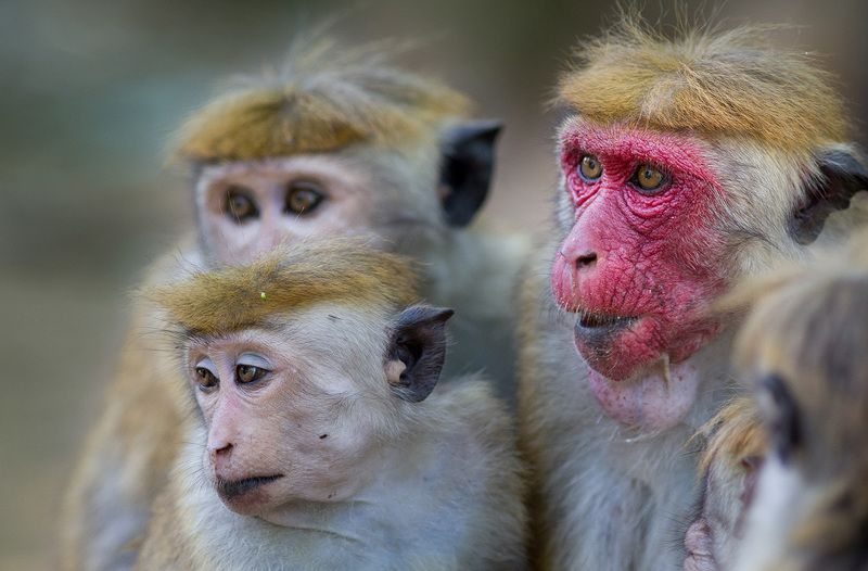 Macaca sinicaphoto preview
