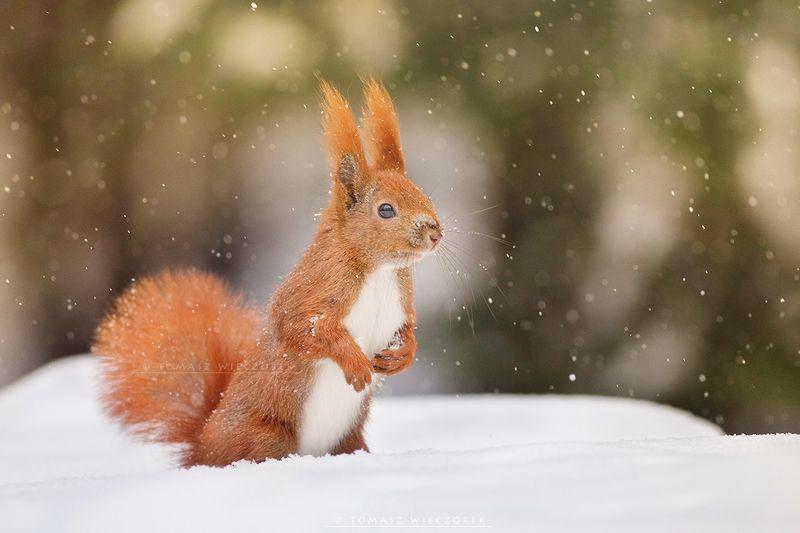 squirrel, winter, snow, cold, forest, snowy, frozen, wildlife, poland, cute Snowy squirrelphoto preview