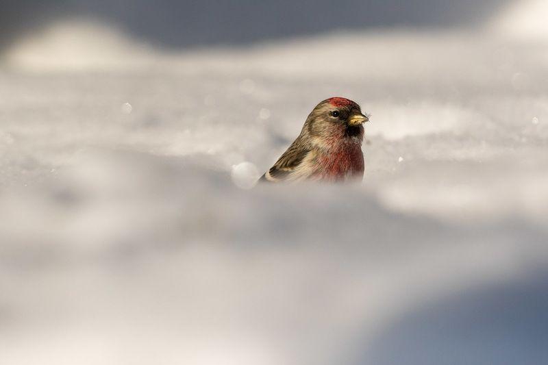 Про чечеток. Обыкновенная чечетка, самец. Маленькие птички в снегу и на веточкахphoto preview