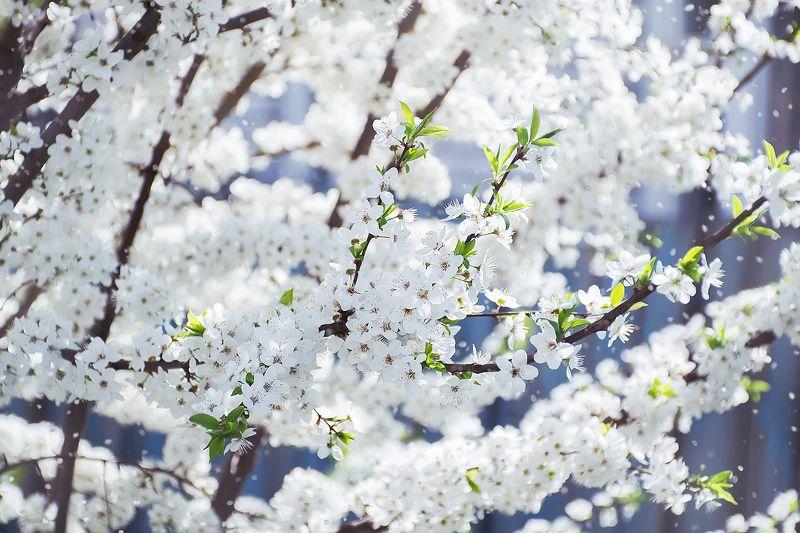 цвет вишни, белый, весна, нежность И ветви вновь в наряде снежном...photo preview