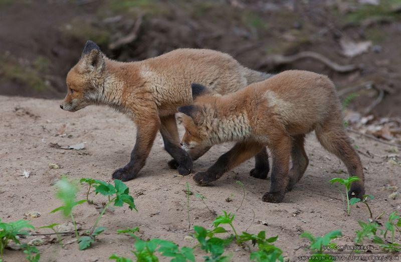 лиса, фотоохота, анималистика, дикая природа, природа, лес, животные, nature, wildlife, fox, animal, wildlifephoto Лисятаphoto preview
