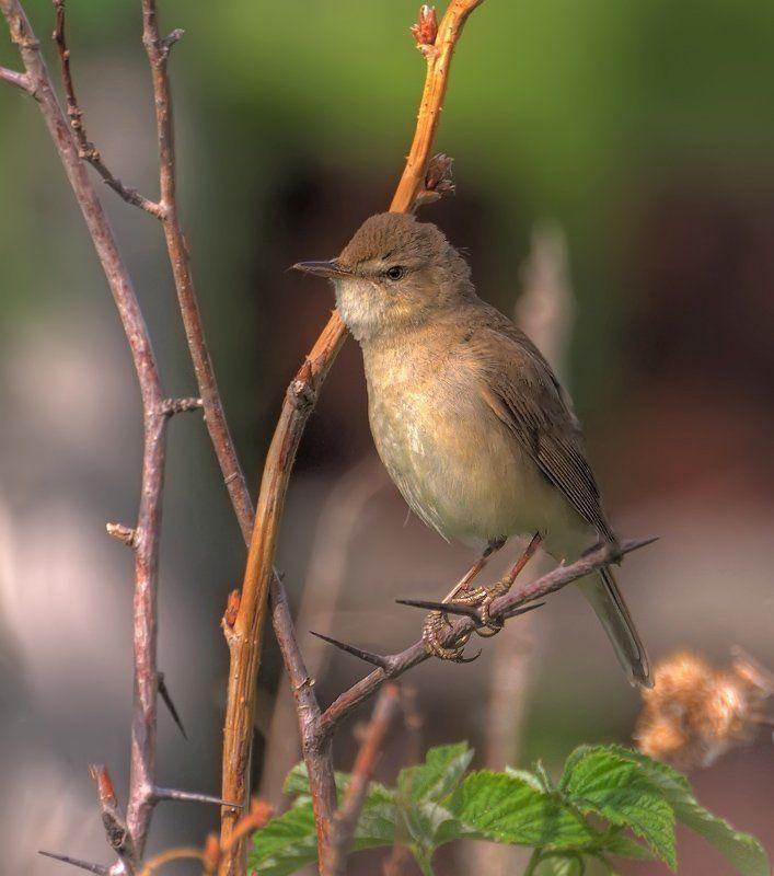 птица,природа,камышевка Впереди трудовой день...photo preview