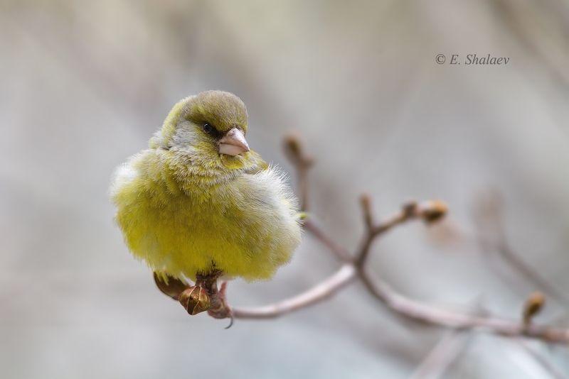birds,carduelis chloris,european greenfinch,обыкновенная зеленушка,птица,птицы,фотоохота Скоро весна !photo preview