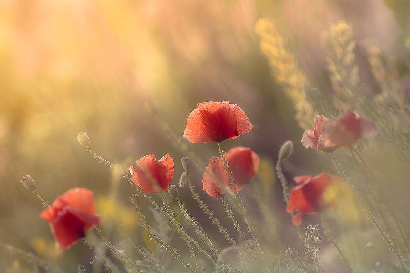 poppy, nature, flowers Soft eveningphoto preview