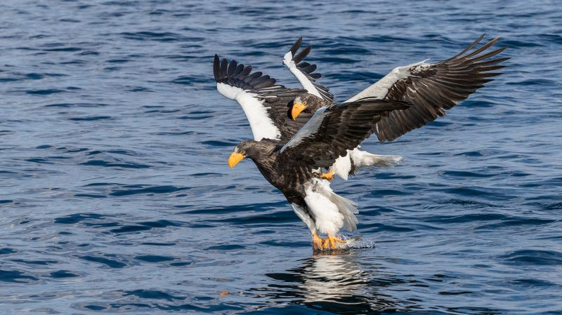 белокрылый, орел На рыбалкеphoto preview