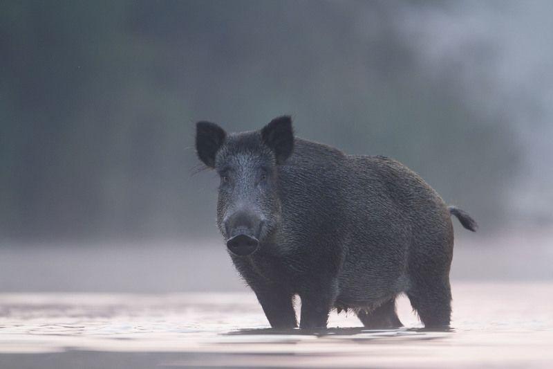 wild boar, mist, sunrise, pond, nature, wildlife, morning Wild Boarphoto preview
