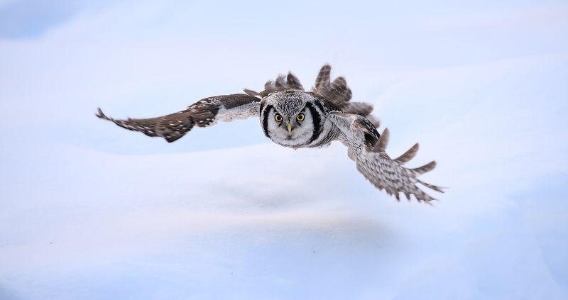 hawk owl, ястребиная сова низколетающий охотник IIphoto preview