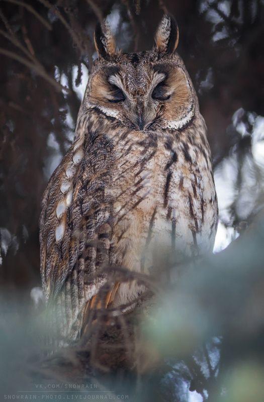 owl, wildlife, wildlife photography, анималистика, сова, фотоохота, birds, nature, птицы Сонphoto preview