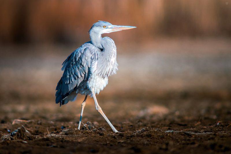 Grey heron, heron, birdwatching, bird, wildlife Grey heronphoto preview