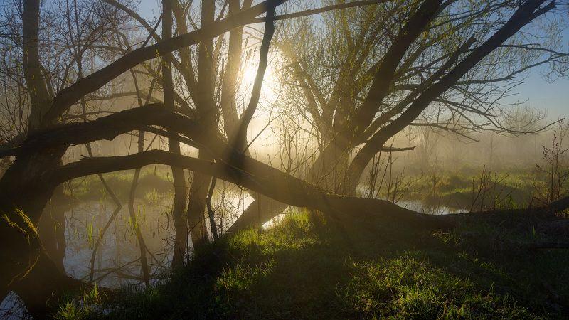 Ивы в тумане майского утраphoto preview