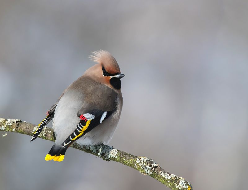 птицы,природа,зима, Свиристельphoto preview