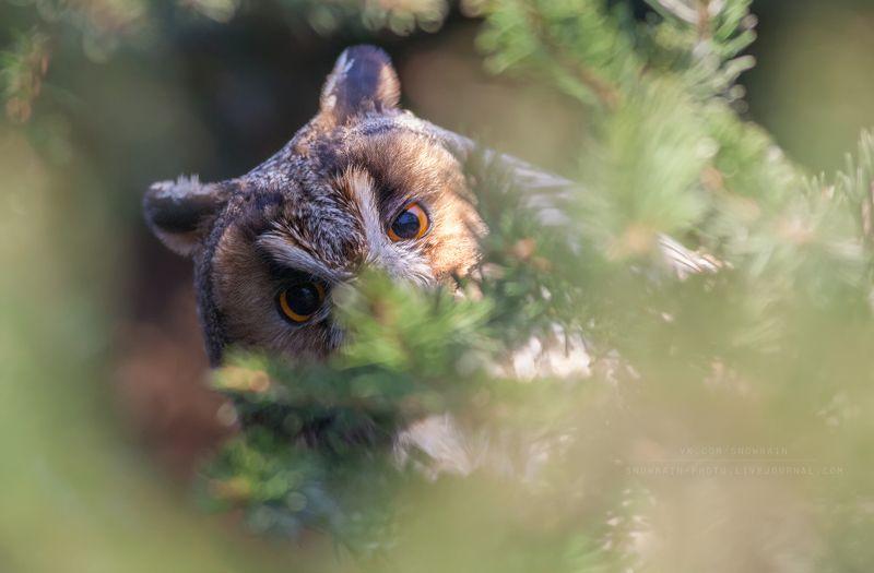 owl, wildlife, wildlife photography, анималистика, сова, фотоохота, birds, nature, птицы Свысокаphoto preview