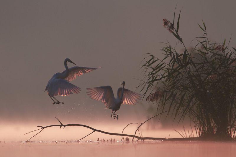 great egret, mist, sunrise, pond, nature, wildlife, morning Sunrisephoto preview
