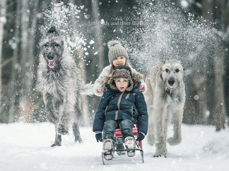 Crazy sleigh ride accompanied by Irish wolfhoundsphoto preview