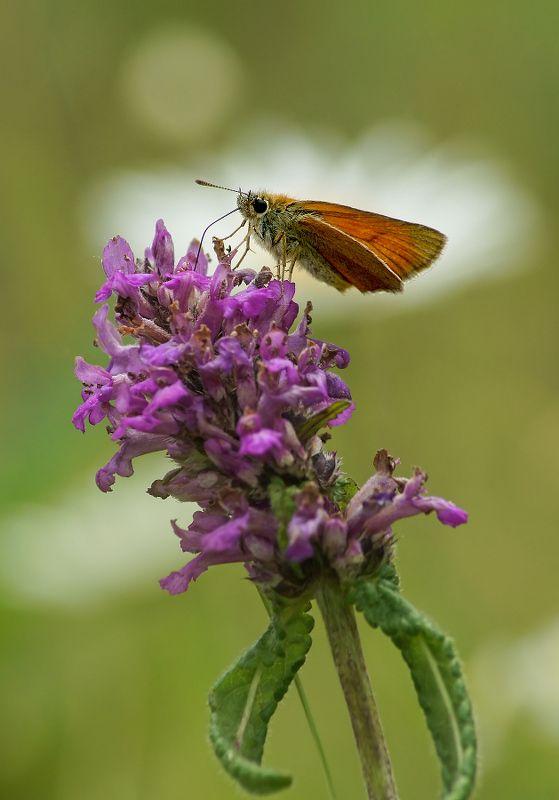 Бабочка Толстоголовка Толстоголовкаphoto preview