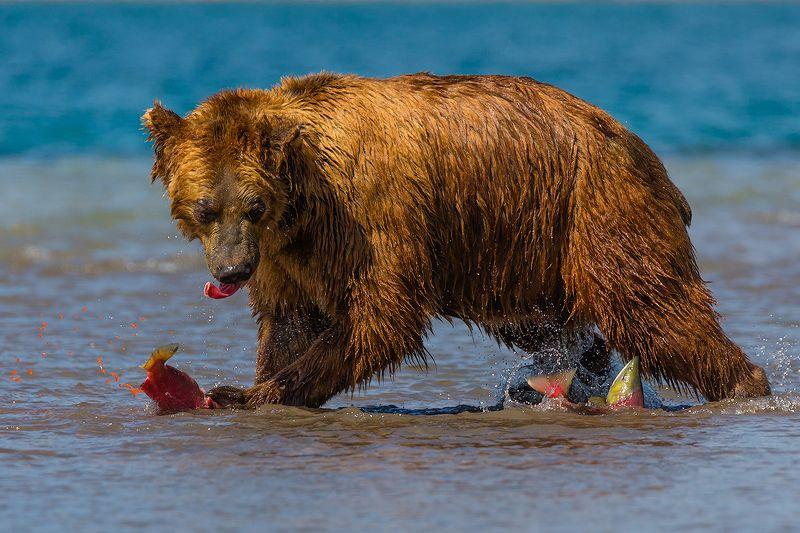 Камчатка, медведь, лосось, природа, путешествие, животные,  Рыбы много не бывает!!!photo preview