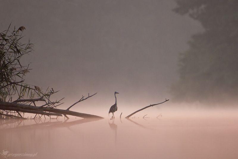 great egret, mist, sunrise, pond, nature, wildlife, morning Great Egretphoto preview