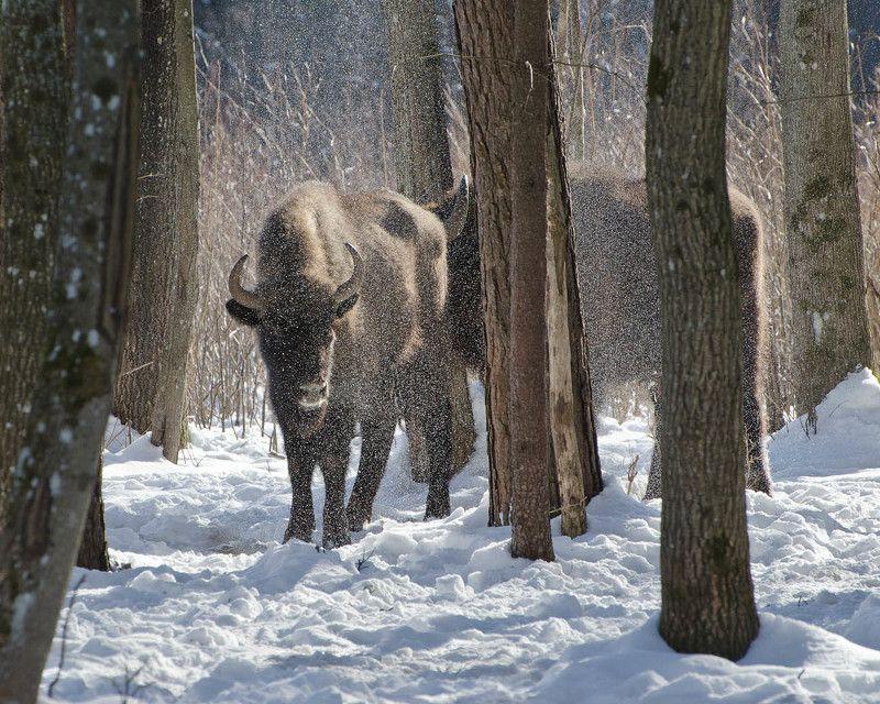 зима, зубры, животные В зыбком серебре Калужских засекphoto preview