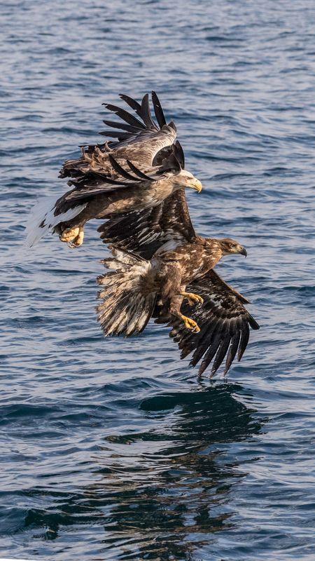 орлы, белокрылые орлы Орлиные полетыphoto preview