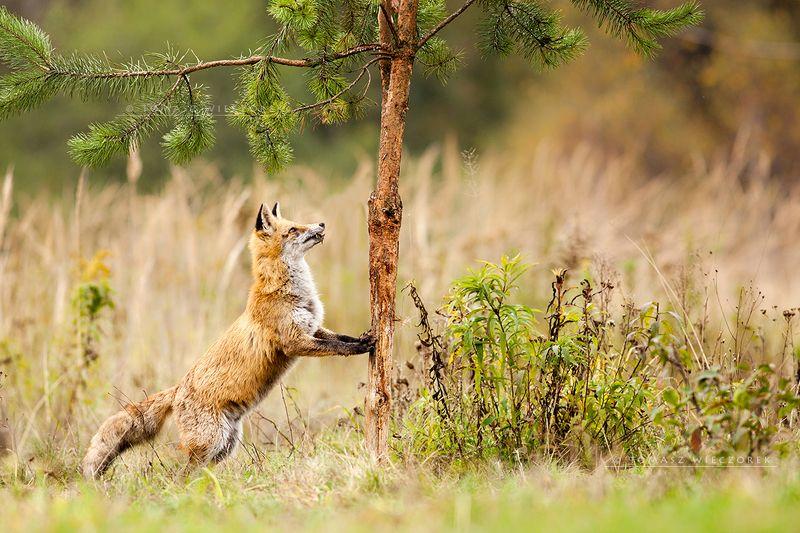 fox, fuchs, red fox, wildlife, shelter, hide, poland, fields, autumn, eye, lucky, tree, strange Morning yogaphoto preview