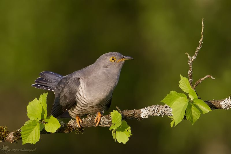 cuckoo Cuckoophoto preview