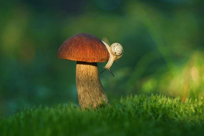 грибы, природа, улитка, лето Пора домой...photo preview