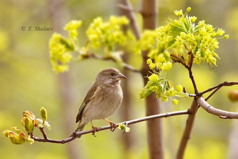 birds,carduelis chloris,european greenfinch,обыкновенная зеленушка,птица,птицы,фотоохота Цветы для зеленушкиphoto preview