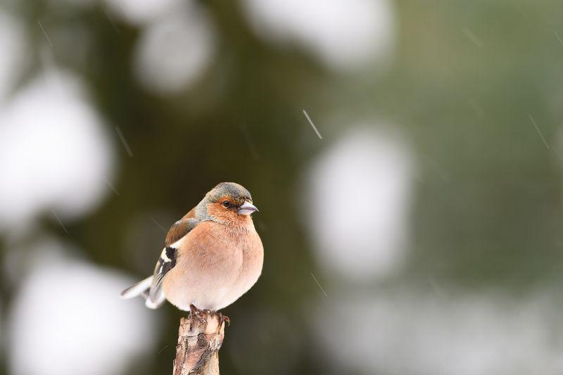 nature, animal, bird, birding, winter Snowing again II.photo preview