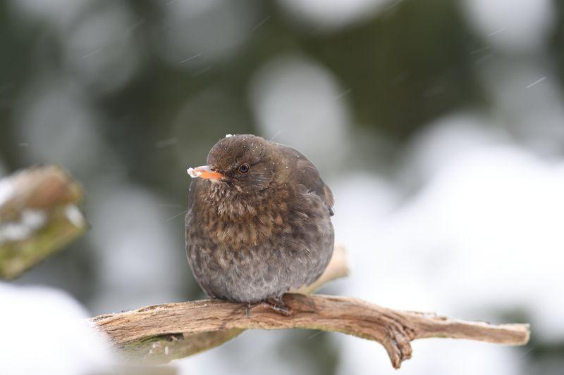 nature, animal, bird, birding, winter Snowing again IV.photo preview