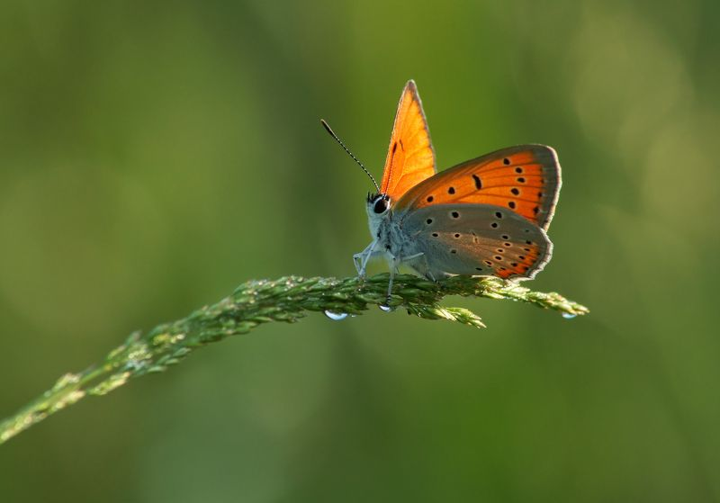 Бабочка Червонец непарный Свежесть летнего утра.photo preview
