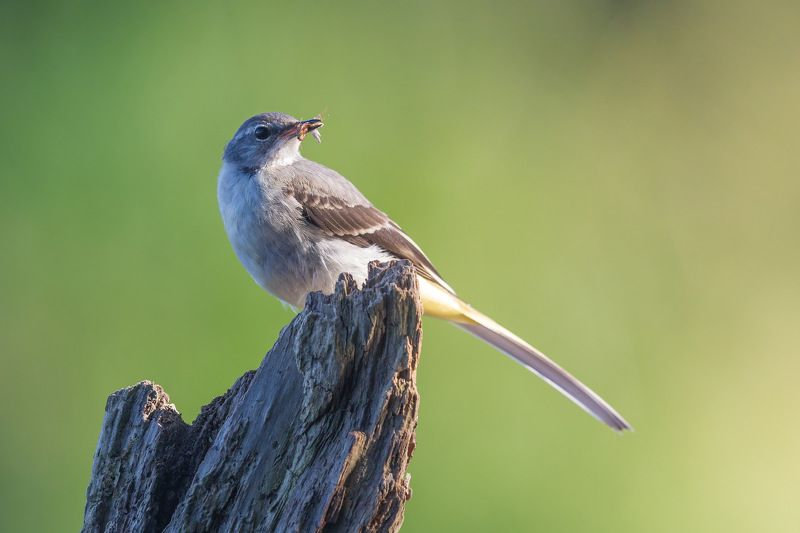 Grey wagtailphoto preview