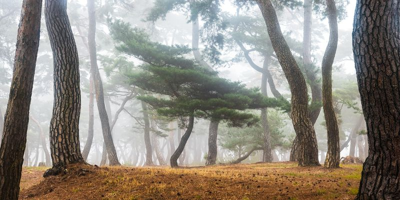 woodland, tree trunk In The Misty Pine Forestphoto preview