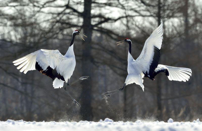 japanese crane, winter, manchurian crane,red-crowned crane,grus japonensis,bird, nature, animal *\\*photo preview