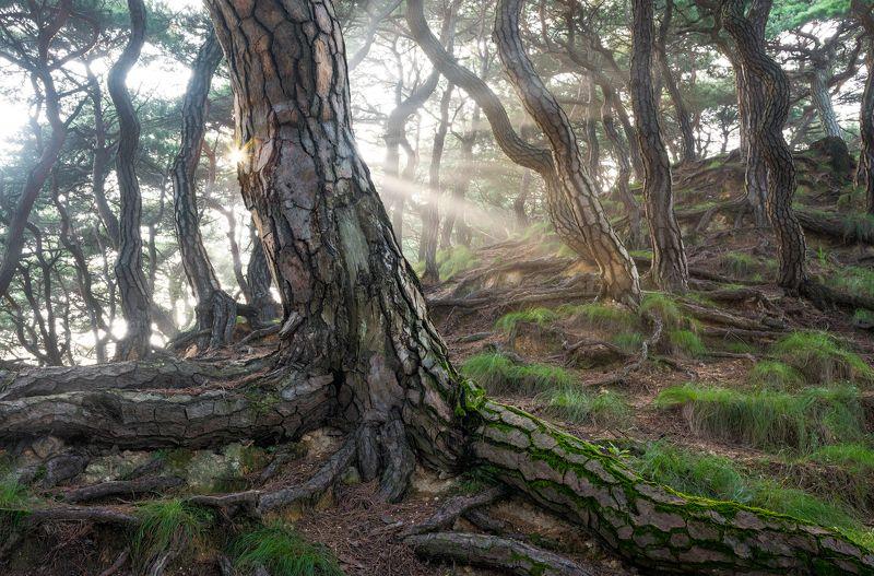Sacred Pine Treesphoto preview
