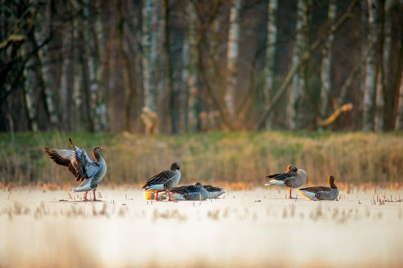 Greylag, ice, wildlife Greylags on icephoto preview
