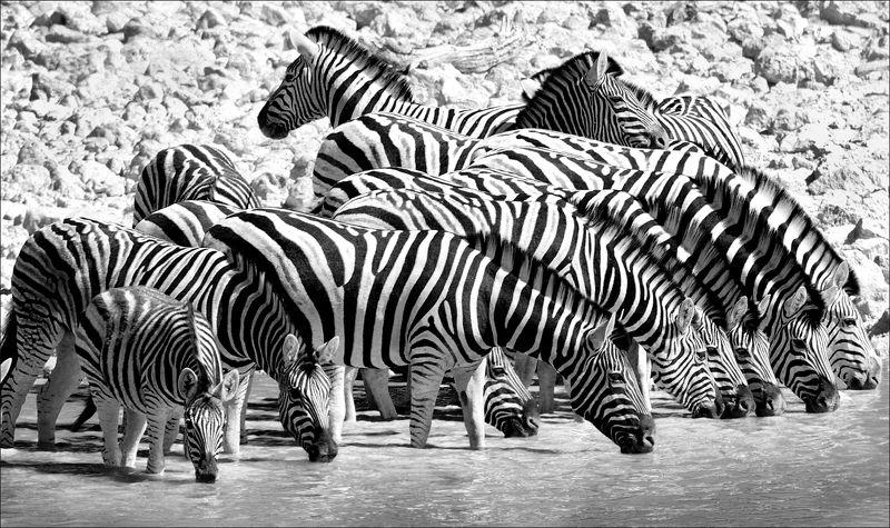зебры, африка, путешествие, черно-белая, чб, zebras, africa, travel, black and white, bw Полосатая компанияphoto preview